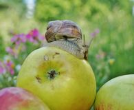 On apple snail Royalty Free Stock Photography