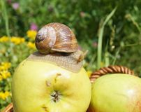 On apple snail Royalty Free Stock Images