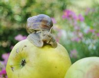 On apple snail Stock Images
