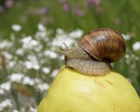 On apple snail Stock Photo