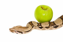 Apple and snake Royalty Free Stock Image