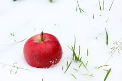 Apple in the snow. Red apple in the snow and grass close up. First snow. Autumn and snow. Apple royalty free stock images