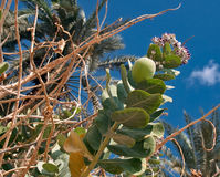 Apple of Sodom. Calotropis procera. Plant in the south of the Dead Sea in Israel Stock Images