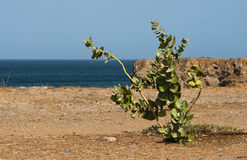 Apple of sodom. An apple of sodom tree on the seaside in Senegal Stock Photos