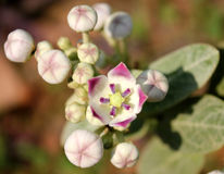 Apple of Sodom, Calotropis procera Royalty Free Stock Image