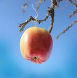 Apple som hänger på en tree, förgrena sig Royaltyfri Foto