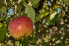 Apple som hänger på trädet Arkivbild