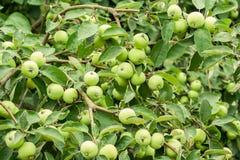 Apple, som har rikt uppsättningen Gröna äpplen för raddor fotografering för bildbyråer