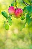 Apple som växer på en trädfilial Royaltyfri Fotografi