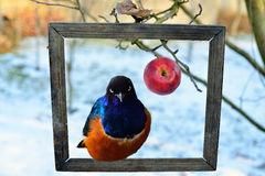 An apple and the splendid starling Stock Image