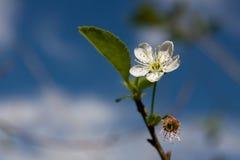 Apple spring blossom Stock Photo
