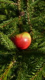 Apple and Spruce tree Stock Photography