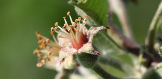 Apple stamens, macro Royalty Free Stock Images