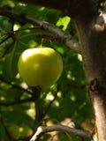 Apple su di melo Fotografie Stock