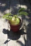 Apple su legno Immagine Stock Libera da Diritti