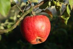 Apple su un albero Immagine Stock Libera da Diritti