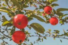 Apple su un ramo in un giardino nelle prime ore del mattino Frutti succosi freschi, prodotti biologici nella regolazione naturale fotografie stock