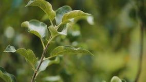 Apple sui rami di albero al frutteto di frutta, cattiva stagione del raccolto, hobby di giardinaggio video d archivio