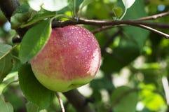 Apple sul ramo Immagine Stock