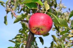 Apple sul ramo Immagini Stock Libere da Diritti