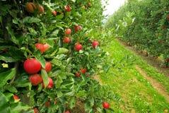Apple sull'albero Fotografie Stock Libere da Diritti