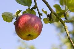 Apple sull'albero Fotografia Stock Libera da Diritti