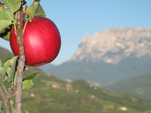 Apple sull'albero con la direzione delle montagne italiane Fotografie Stock