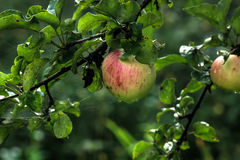Apple. Summer garden Stock Photography