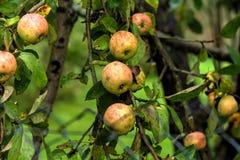 Apple. Summer garden Stock Photo