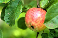 Apple. Summer garden Royalty Free Stock Photo