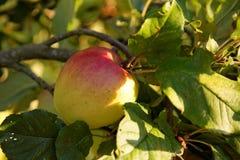 Apple sur l'arbre Images stock