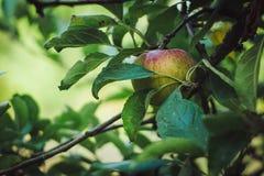 Apple sur l'arbre entouré par des feuilles Image libre de droits