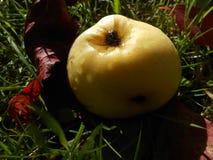 Apple sur l'herbe avec les feuilles sèches pendant l'automne photo libre de droits
