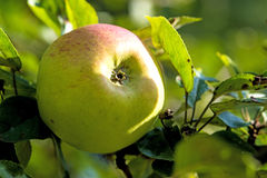 Apple sur un arbre Image libre de droits