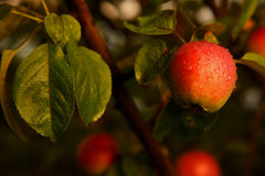 Apple sur un branchement Image stock