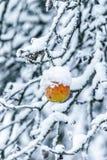 Apple sur une branche couverte de neige photos libres de droits