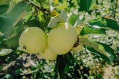 Apple sur une branche dans un jardin tôt le matin Fruits juteux frais, produits biologiques dans l'arrangement naturel de l'été photos libres de droits