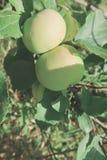 Apple sur une branche dans un jardin tôt le matin Fruits juteux frais, produits biologiques dans l'arrangement naturel de l'été photo libre de droits
