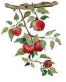 Apple-tak met Geïsoleerde appelenwaterverf gestileerde illustratie royalty-vrije illustratie