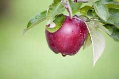 Apple toujours frais sur des arbres photo libre de droits