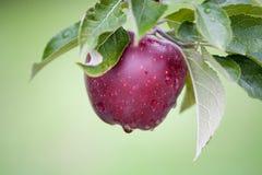 Apple toujours frais sur des arbres photographie stock libre de droits