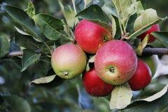 Apple träd