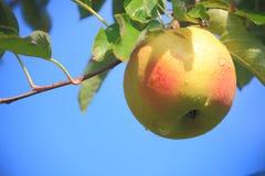 Apple träd Arkivbilder