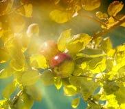 Apple träd Fotografering för Bildbyråer
