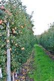 Apple träd, Apple fruktträdgård i den Okanagan dalen, Kelowna, British Columbia Fotografering för Bildbyråer