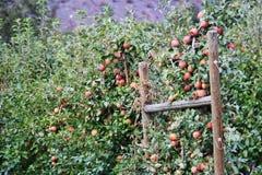 Apple träd, Apple fruktträdgård i den Okanagan dalen, Kelowna, British Columbia Arkivbilder