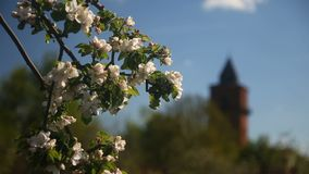 Apple-träd i blom lager videofilmer