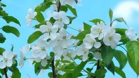 Apple-träd i blom arkivfilmer