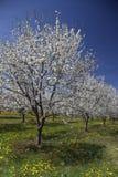 Apple träd i blom Arkivbilder