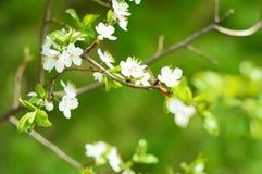 Apple träd i blom Arkivfoto
